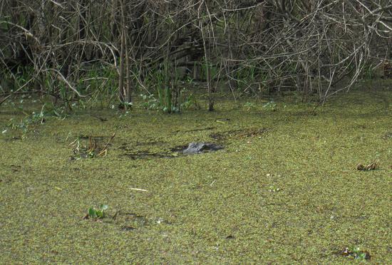 48_alligator.JPG