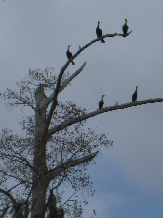 50_cormorants.jpg