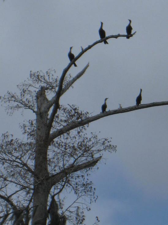 50_cormorants.jpg
