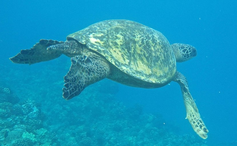 315b_turtle_photographed_by_martha_at_the_next_snorkeling_spot