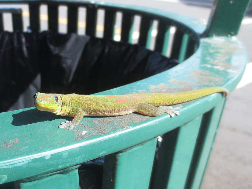 532_lizard_closeup