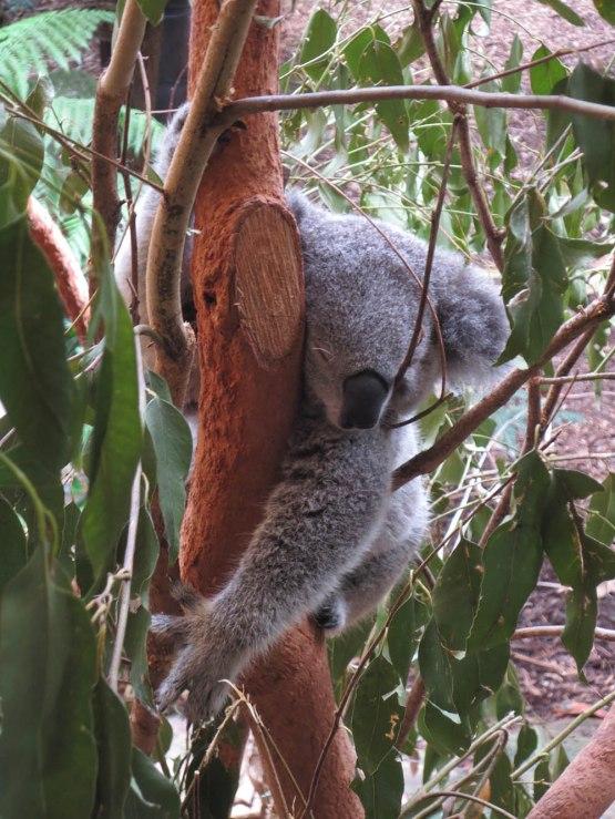 79_koala