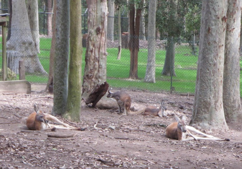 90_kangaroos_and_wallabies
