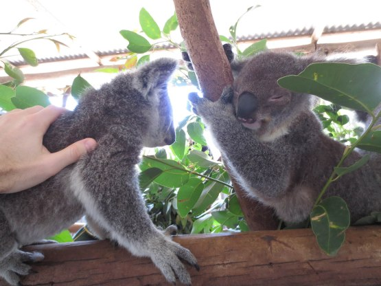 162_petting_a_koala