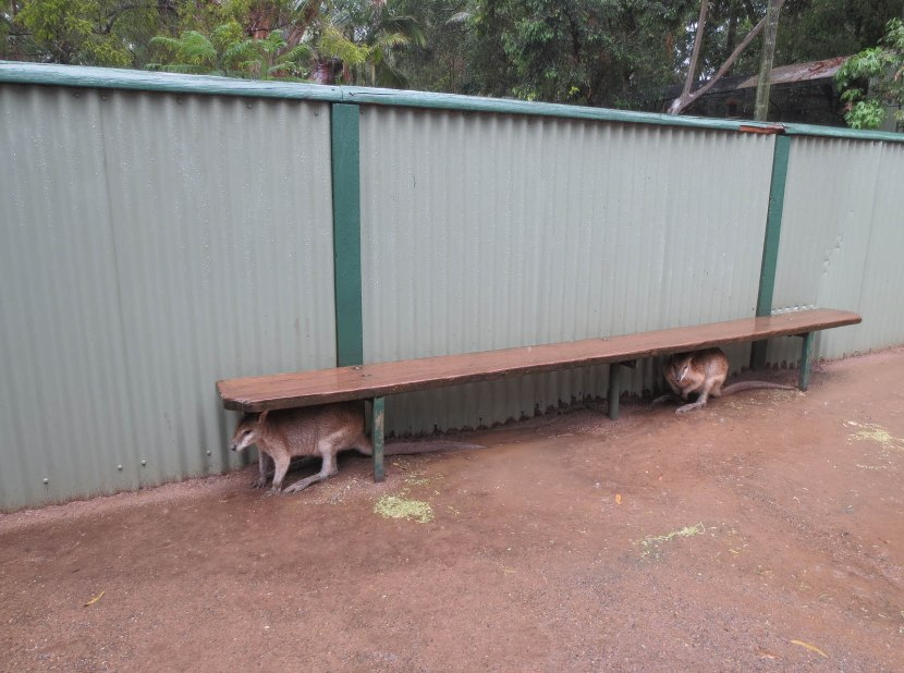 502_kangaroos_hiding_from_the_rain
