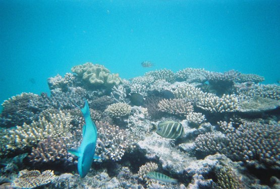 685_great_barrier_reef_big_blue_fish
