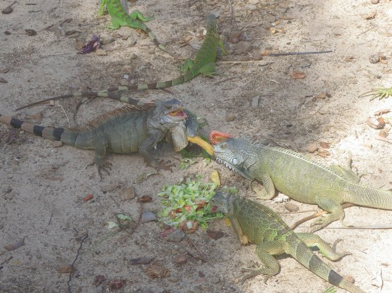 127_iguanas_eating_french_fries