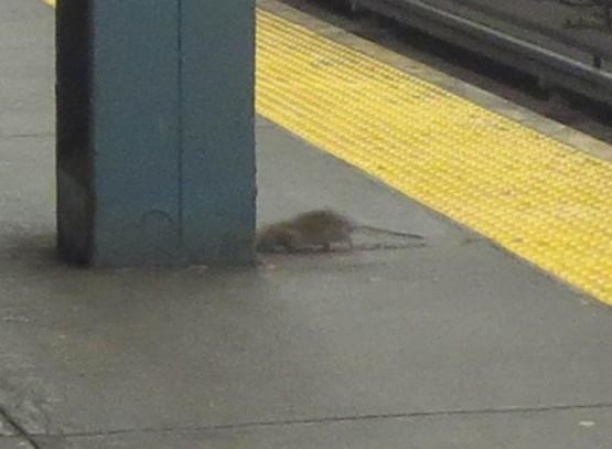 16_rat_on_subway_platform_closeup