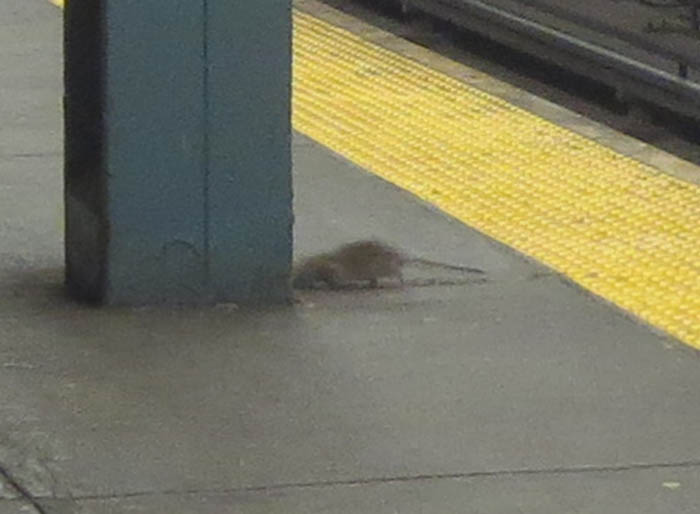 16_rat_on_subway_platform_closeup